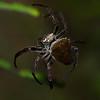 Araneidae sp.<br /> 1895, Ranomafana, Madagascar, 29 novembre 2013