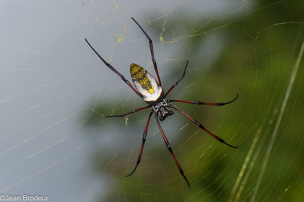 Araignees de Madagascar