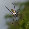 Néphile dorée femelle, Golden Orb-web spider, Nephila inaurata madagascariensis, Nephilidae<br /> 1988, Ranomafana, Madagascar, 30 novembre 2013