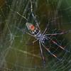 Néphile dorée femelle (face ventrale)Golden Orb-web spider, Nephila inaurata madagascariensis, Nephilidae<br /> 2270, Isalo, Madagascar, 1 decembre 2013