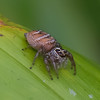 Araignée sauteuse de Madagascar, Salticidae<br /> 2129, Ranomafana, Madagascar, 30 novembre 2013