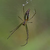 Néphile dorée femelle(face ventrale), Golden Orb-web spider, Nephila inaurata madagascariensis, Nephilidae<br /> 1225, Marozevo, Madagascar, 25 novembre 20