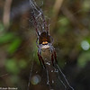 Araneidae sp.<br /> 1887, Ranomafana, Madagascar, 29 novembre 2013