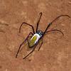 Néphile dorée femelle, Golden Orb-web spider, Nephila inaurata madagascariensis, Nephilidae<br /> 1848, Antsirabe, Madagascar, 28 novembre 2013