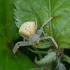 Araignée crabe de Madagascar, Thomisidae (Crab Spiders)<br /> 1529, Antsirabe, Madagascar, 26 novembre 2013