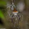 Caerostris sp. Araneidae <br /> 2252, Ranomafana, Madagascar, 30 novembre 2013