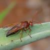Sphecius grandidieri, Cicada killer wasps, Crabronidae<br /> 3230, Berenty, Madagascar, 8 decembre 2013