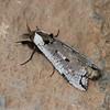 Cossidae sp. Papillon de nuit male de Madagascar<br /> 1367, Andasibe, Madagascar, 25 novembre 2013