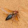 Sphecius grandidieri, Cicada killer wasps,  Crabronidae<br /> 3238, Berenty, Madagascar, 8 decembre 2013