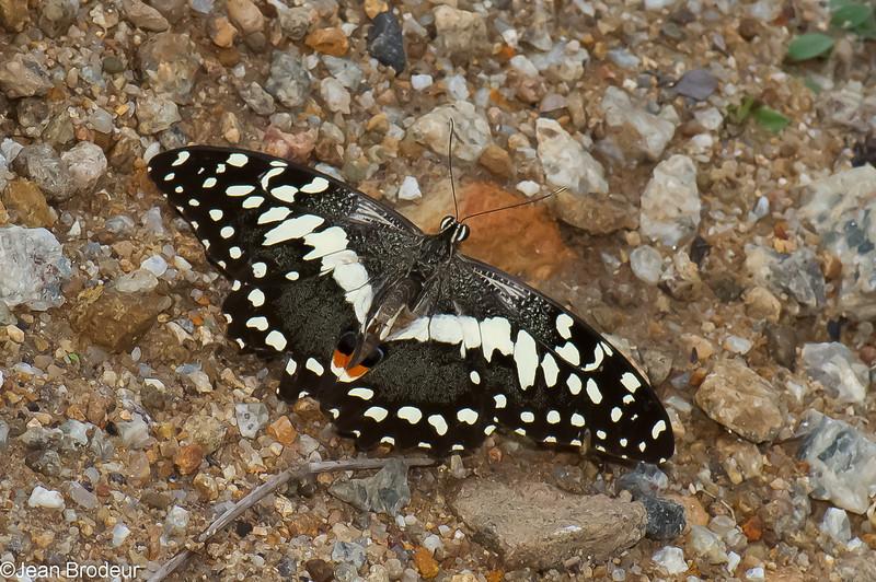 Papilio demodocus, Papillon de Vinson ou Voilier des citronniers ,  Citrus Swallowtail, <br />  Papilionidae de Madagascar<br /> 3096, Berenty, Madagascar, 7 decembre 2013
