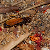 Pepsis sp. Tarantula Hawk Wasp,  Pompilidae<br /> 3178, Berenty, Madagascar, 8 decembre 2013