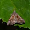 Papillon de nuit sp. <br /> 1931, Ranomafana, Madagascar, 29 novembre 2013