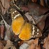 Danaus chrysippus, Petit monarque, Nymphalidae<br /> 2535, Isalo, Madagascar, 2 decembre 2013