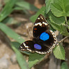 Junonia oenone, Dark Blue Pansy,  Nymphalidae <br /> 1879, Ranomafana, Madagascar, 29 novembre 2013