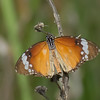 Danaus chrysippus, Petit monarque, Nymphalidae<br /> 2393, Isalo, Madagascar, 1 decembre 2013