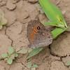 Papillon sp. Nymphalidae<br /> 3212, Berenty, Madagascar, 8 decembre 2013