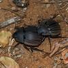 Hexodon sp, Dynastidae,  Scarabaeidae, Coleoptere de Madagascar, <br /> 3216, Berenty, Madagascar, 8 decembre 2013