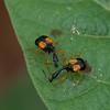 Madagasocycnelus humeralis, Attelabidae<br /> 1743, Antsirabe, Madagascar, 27 novembre 2013