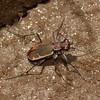 Lophyra sp. Cicindelidae, Cicindele de Madagascar, Tiger beetles<br /> 1791, Antsirabe, Madagascar, 28 novembre 2013