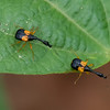 Madagasocycnelus humeralis, Attelabidae<br /> 1744, Antsirabe, Madagascar, 27 novembre 2013