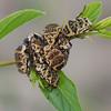 Euryomia argentea, Cetoniidae ,  Scarabaeidae<br /> 2680, Isalo, Madagascar, 3 decembre 2013