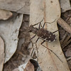 Lophyra fuliginosa, Cicindelinae, Cicindele de Madagascar<br /> 2871, Isalo, Madagascar, 3 decembre 2013