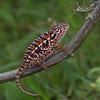 Caméléon de Madagascar, Furcifer sp.<br /> 1261, Marozevo, Madagascar, 25 novembre 2013