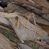 Gecko à queue plate de Madagascar, Uroplatus sp.<br /> 1197, Marozevo, Madagascar, 25 novembre 2013