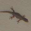 Gecko de Madagascar,  Hemidactylus mabouia, Gekkonidae<br /> 3082, Ifaty, Madagascar, 5 decembre 2013