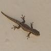 Gecko de Madagascar, Hemidactylus mabouia, Gekkonidae<br /> 3079, Ifaty, Madagascar, 5 decembre 2013