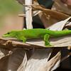 Gecko de Madagascar, Phelsuma madagascariensis grandis, Gekkonidae<br /> 1146, Marozevo, Madagascar, 25 novembre 2013