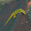Gecko de Madagascar, Phelsuma sp.  Gekkonidae<br /> 2034, Ranomafana, Madagascar, 30 novembre 2013