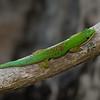 Gecko de Madagascar, Phelsuma guttata, Gekkonidae<br /> 1276, Marozevo, Madagascar, 25 novembre 2013