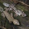 Gecko à queue plate de Madagascar, Uroplatus fimbriatus, Gekkonidae<br /> 1183, Marozevo, Madagascar, 25 novembre 2013