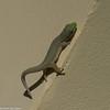 Gecko de Madagascar,  Phelsuma sp, Gekkonidae<br /> 3094, Berenty, Madagascar, 7 decembre 2013