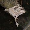 Gecko à queue plate de Madagascar, Uroplatus lineatus <br /> 1194, Marozevo, Madagascar, 25 novembre 2013