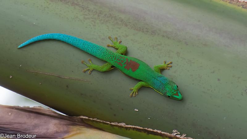 Gecko poudre d'or, Phelsuma laticauda, Gekkonidae<br /> 1523, Antsirabe, Madagascar, 26 novembre 2013