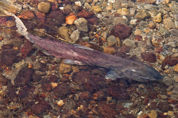 Chinook salmon - Valemount