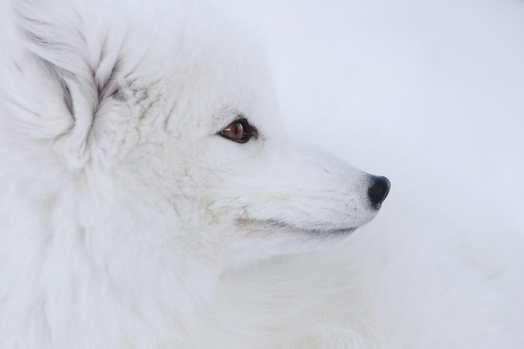 http://www.borealphoto.com/Faune-flore/Captifs/i-BGKXNjC/1/XL/DSC_0633a-XL.jpg