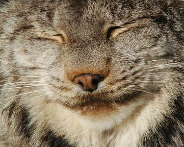Lynx du CanadaCanadian Lynx</span> (<i>Lynx canadensis</i>)</html>