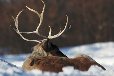 Caribou des bois