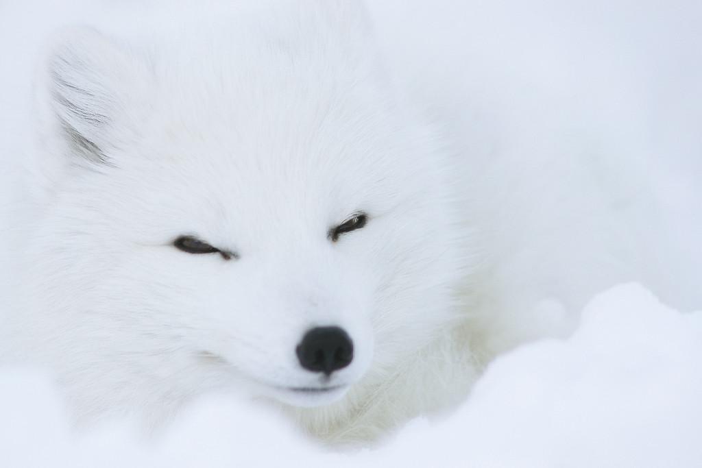 http://www.borealphoto.com/Faune-flore/Captifs/i-wCL9kmv/1/XL/DSC_0640-XL.jpg