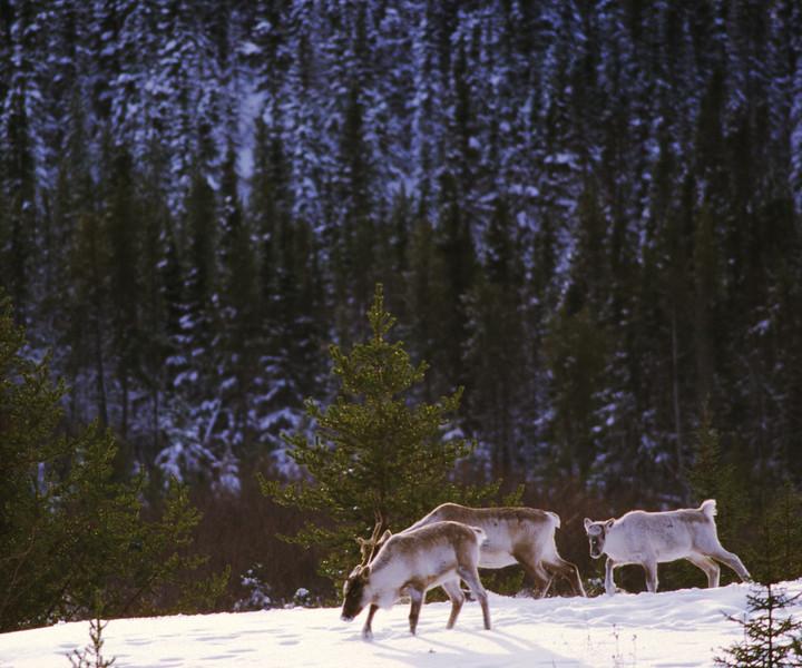 Caribous des bois