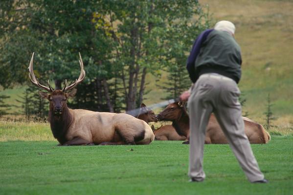 Wapiti et golfeur - Banff