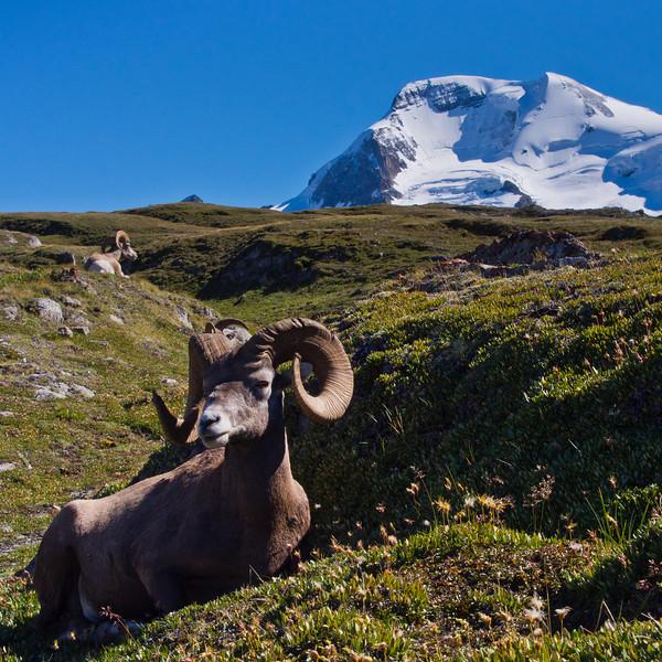 Bighorn Sheeps & Mt Athabasca