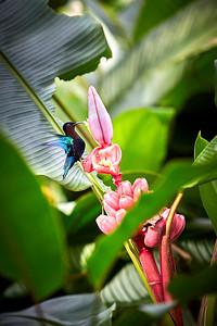 Colibri des Antilles