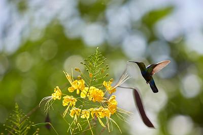 Colibri en guadeloupe