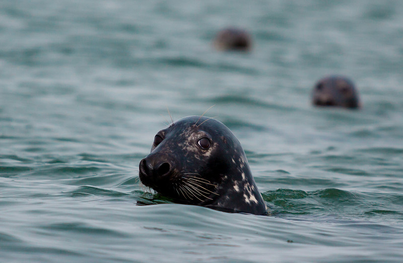 gray seals near Monomoy Island.