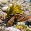 large hermit crab