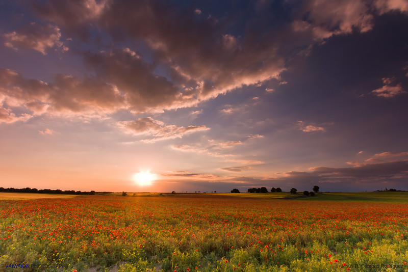 Sunset in the field of poppies.<br /> Pozuelo del Rey, Madrid. Spain.
